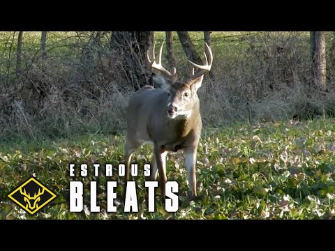 Doe Estrous Bleats FOOL 10pt Buck!