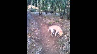 Obuka psa tartufara