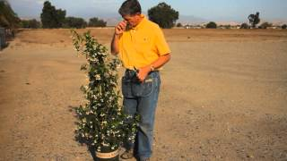 How to Fix an Overgrown Jasmine : Garden Savvy