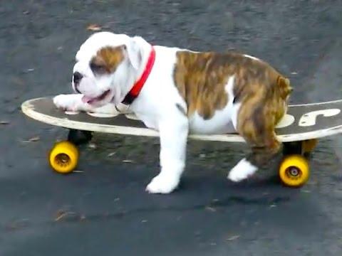 Skateboarding English Bulldog Puppy