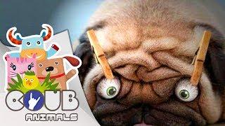 Смешные видео про животных #3 | COUB | Приколы с животными