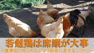 若雌鶏は席順が大事~食事中に叱られないよう四苦八苦するニワトリ~ thumbnail