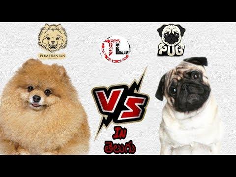 Pug vs pomeranian Dog | Dog Comparison | In Telugu