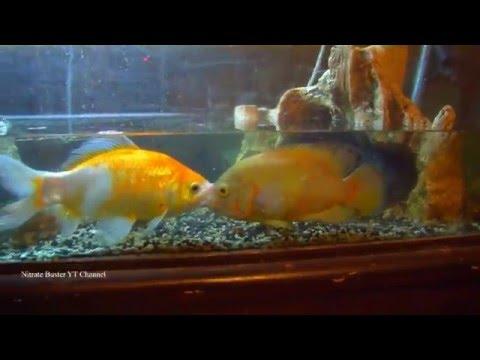 Ich Cure Salt Dip For Quarium Fish Cichlids  How To Cure Ich