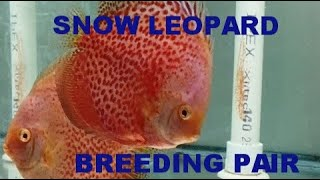Snow Leopard Discus Breeding Pair With Fry