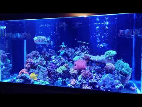 **Feeding My Reef Tank** & Milo My Porcupine Puffer Fish