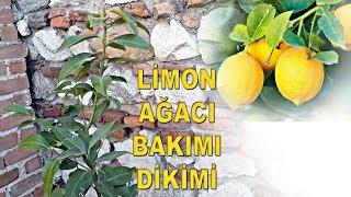 Limon Ağacı Bakımı - Limon Ağacı Saksı Değiştirme - Limon Ağacı Nasıl Sulanır - Gerçek Limon Ağacı