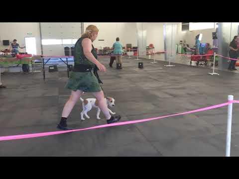 Dreamer Puppy Show UKC
