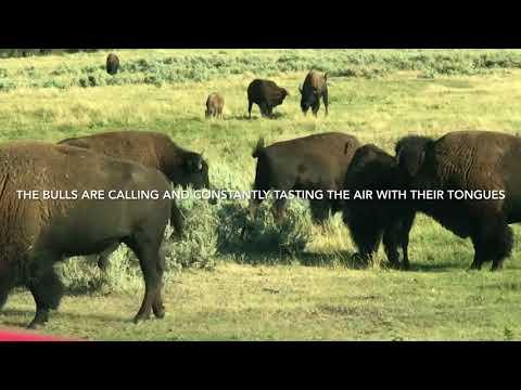 Yellowstone - Bison
