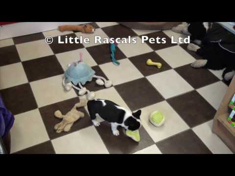 Little rascals Uk breeders New litter of French Bullogs