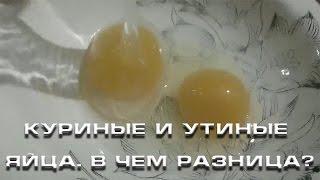 Куриные и утиные яйца  В чем разница