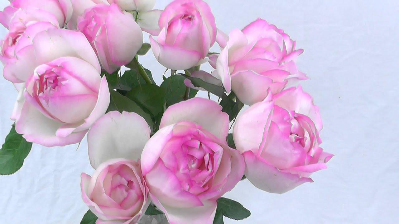 Pink Garden Rose Honore De Balzac Youtube