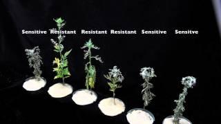 Glyphosate (SOA 9) Sensitive vs Resistant Common Ragweed #2