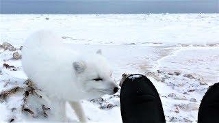 與可愛的北極狐面對面《國家地理》雜誌