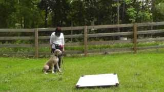 Dog Training: Great Dane Puppy, Molly, Day 3, Heel, Sit, Recall, Go To Place