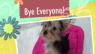 Yorkshire Terrier (yorkie) For Sale Boca Raton | Poochie Couture Puppy Store