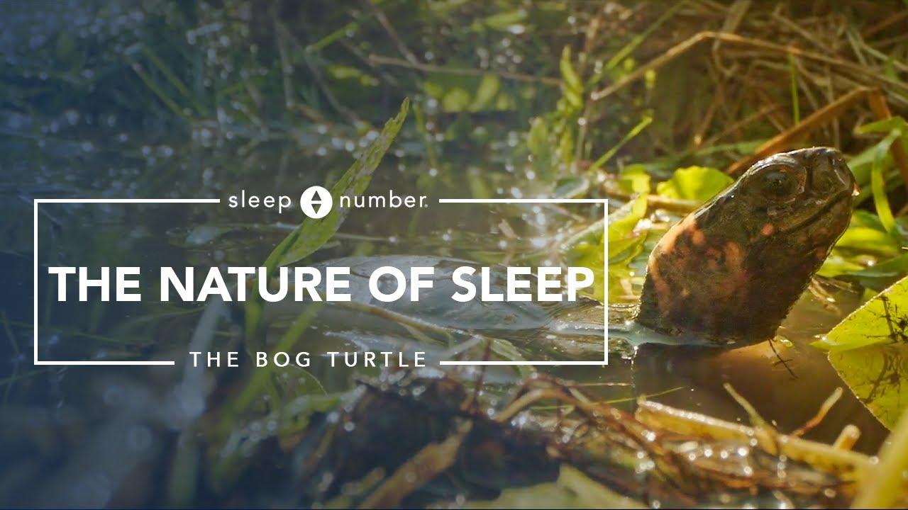 Nature of Sleep: The Bog Turtle