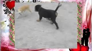Собачьи бои Карликовый пинчер против ротвелер
