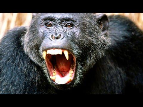 This chimp hunts monkeys for food !