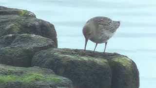 Ptaki Bałtyk 05 10 2014r