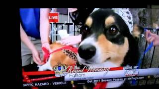 """Royal Wedding - Corgis Say """"i Do"""" In Fair Oaks, Ca"""