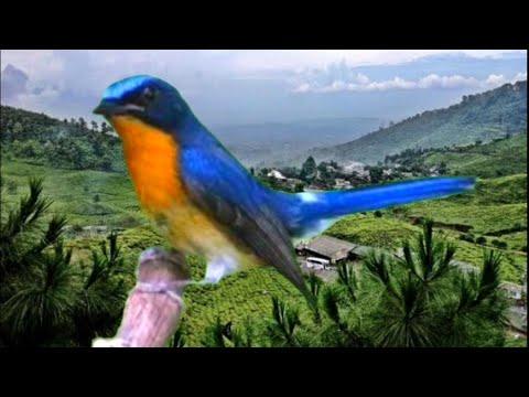 Small bird song - tledekan gacor
