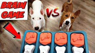 My Dogs Try Brain Game: Basenji VS Bull Terrier