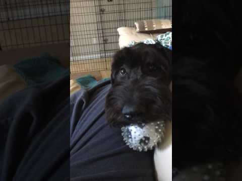 Snoop Dogg the giant schnoodle knows english