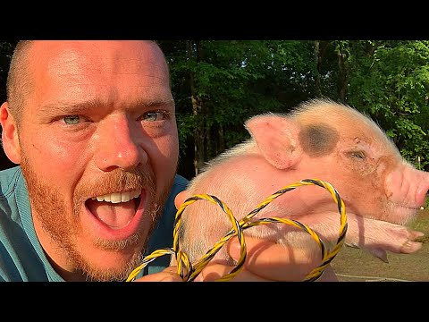 How To TRAIN PIGLETS To ELECTRIC FENCE | Mangalitsa Pigs | Homesteading | Prepping | McGie Collab