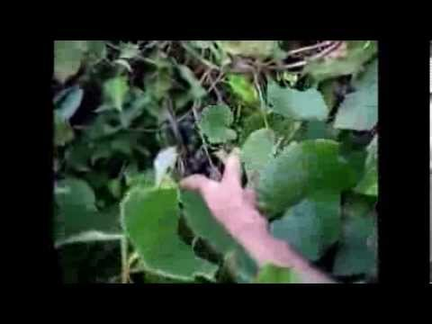 Harvesting Wild Grapes In Australia Pure Organic And Healthy