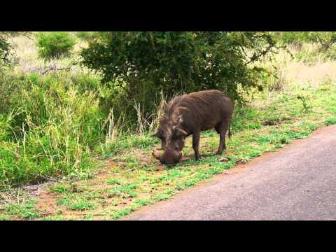 """Warthog (the """"Pumbaa"""" in Lion King) @ Kruger National Park, South Africa"""