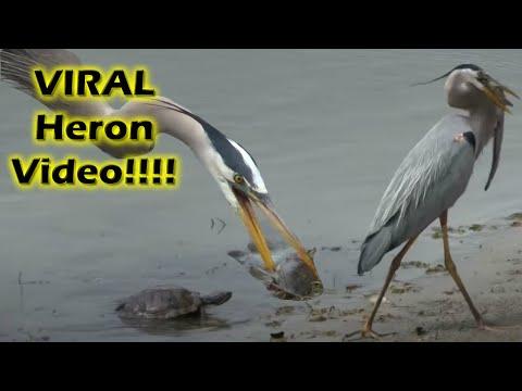 Heron eating a good sized catfish