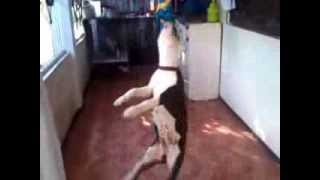 How To Train Your Puppy/dog To Hang On A Rope