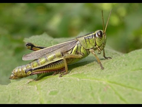 Survival Food  - Grasshopper