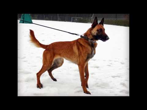 Eris Belgian Malinois K9 -  INSIDE DETECTION
