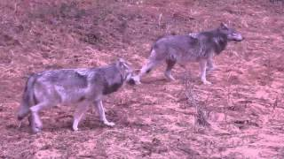 once in a lifetime encounter with wolves on april 23 2016 in banff alberta canada