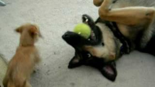 Puppy Owns German Shepherd thumbnail