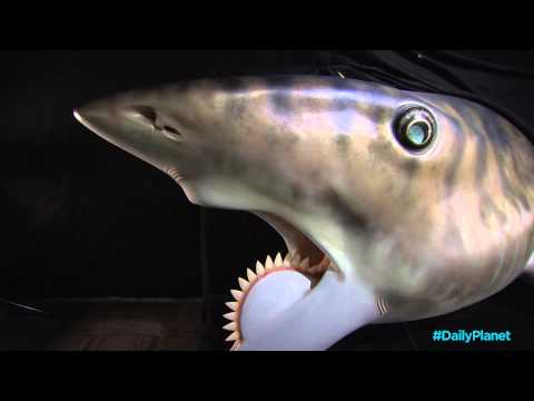 Daily Planet Shark Week - Helicoprion Shark