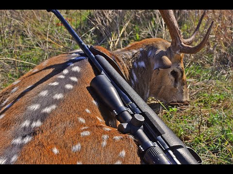 Axis Deer Hunting West Texas