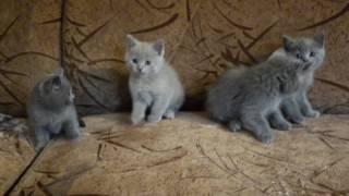 Скоттиш страйт (шотландские прямоухие котята)