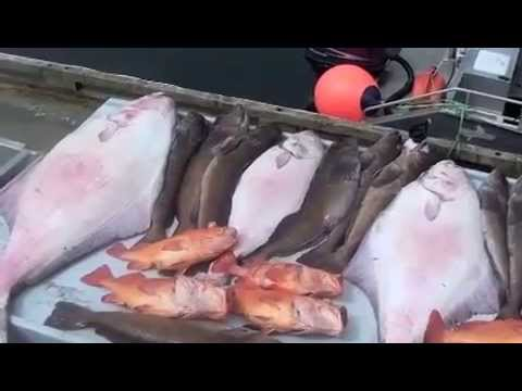 Halibut Fishing, 182lbs Vancouver Island, Winter Harbour B.C.