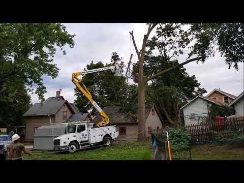 80 foot black walnut tree removal