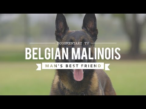 BELGIAN MALINOIS: MAN'S BEST FRIEND