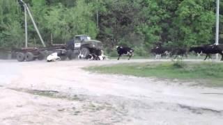 ДТП с животными  Грузовик лесовоз врезается в стадо коров  Truck crashes into a