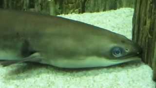 Рыба зеленушка и Морской угорь Конгер