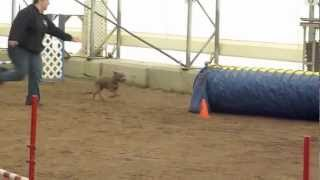 Sadie - Staffordshire Bull Terrier - 'jumpers' Agility Fun Run