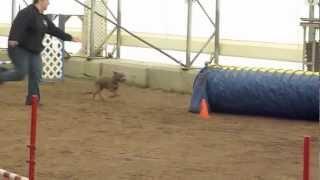 Sadie - Staffordshire Bull Terrier - 'jumpers' Agility Fun Run