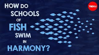How do schools of fish swim in harmony? - Nathan S. Jacobs