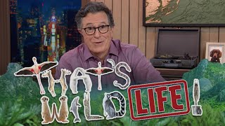 "Download Meet Big Cats And Crazy Birds On Stephen Colbert's ""That's Wild!... Life"""
