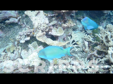 Parrotfish Critical For Healthy Coral Reefs